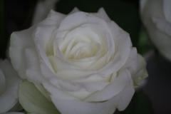 Witte-roos-3