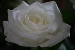 Witte-roos-4