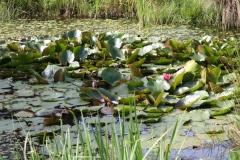Klimmen-Walem-077-Plas-met-waterplanten-in-Dolbergerweide