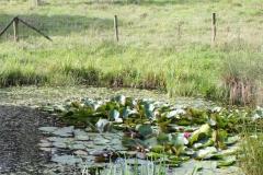 Klimmen-Walem-079-Plas-met-waterplanten-in-Dolbergerweide