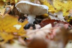 Strucht-Gerendal-079-Paarse-paddenstoel