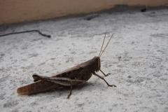 St.-Maarten-0318-Sprinkhaan