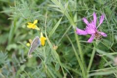 Baneheide-Icarusblauwtje-op-gele-plant-1