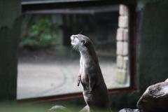 Dierenpark-Amersfoort-014-Aziatische-kleinklauwotter