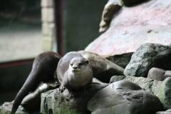 Dierenpark-Amersfoort-015-Aziatische-kleinklauwotter