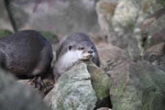 Dierenpark-Amersfoort-019-Aziatische-kleinklauwotter