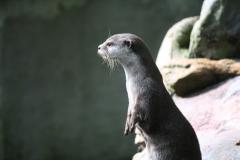 Dierenpark-Amersfoort-022-Aziatische-kleinklauwotter