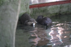 Dierenpark-Amersfoort-028-Aziatische-kleinklauwotter