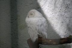 Dierenpark-Amersfoort-038-Sneeuwuil
