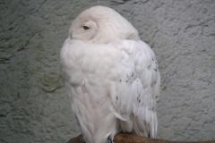 Dierenpark-Amersfoort-039-Sneeuwuil