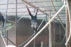 Dierenpark-Amersfoort-055-Chimpansee
