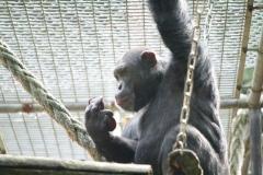 Dierenpark-Amersfoort-060-Chimpansee