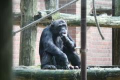 Dierenpark-Amersfoort-061-Chimpansee