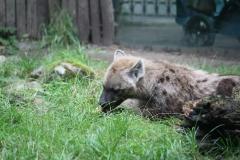 Dierenpark-Amersfoort-062-Gevlekte-Hyena