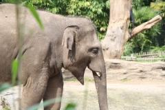 Dierenpark-Amersfoort-071-Aziatische-Olifant