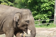 Dierenpark-Amersfoort-072-Aziatische-Olifant-jonkie