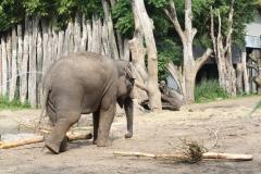 Dierenpark-Amersfoort-073-Aziatische-Olifant-jonkie