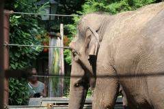 Dierenpark-Amersfoort-074-Aziatische-Olifant