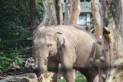 Dierenpark-Amersfoort-077-Aziatische-Olifant