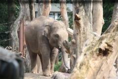 Dierenpark-Amersfoort-078-Aziatische-Olifant