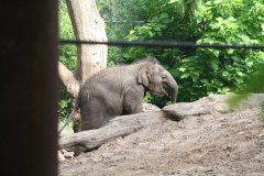 Dierenpark-Amersfoort-079-Aziatische-Olifant-jonkie
