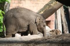 Dierenpark-Amersfoort-081-Aziatische-Olifant-jonkie