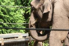 Dierenpark-Amersfoort-084-Aziatische-Olifant