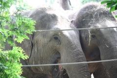 Dierenpark-Amersfoort-088-Aziatische-Olifanten
