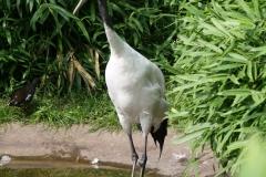 Dierenpark-Amersfoort-100-Japanse-Kraanvogel