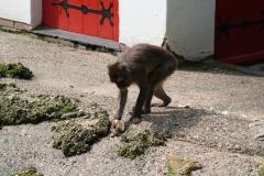 Dierenpark-Amersfoort-102-Japanse-Makaak