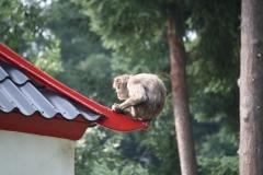 Dierenpark-Amersfoort-103-Japanse-Makaak
