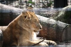 Dierenpark-Amersfoort-110-Leeuwin