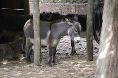 Dierenpark-Amersfoort-142-Mini-ezel