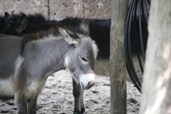 Dierenpark-Amersfoort-143-Mini-ezel