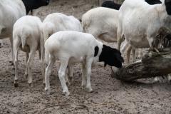 Dierenpark-Amersfoort-150-Zwartkopschaap