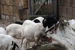 Dierenpark-Amersfoort-151-Zwartkopschaap