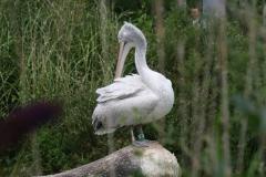 Dierenpark-Amersfoort-203-Kroeskoppelikaan