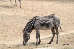 Dierenpark-Amersfoort-209-Zebra