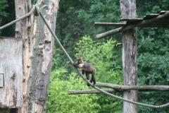 Dierenpark-Amersfoort-226-Geelborstkapucijnenaap