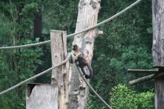 Dierenpark-Amersfoort-227-Geelborstkapucijnenaap