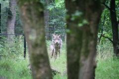 Dierenpark-Amersfoort-235-Wolf