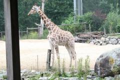 Dierenpark-Amersfoort-341-Giraffe