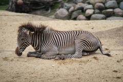 Dierenpark-Amersfoort-342-Zebra