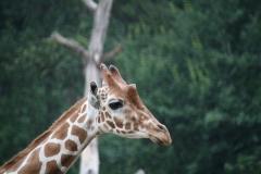 Dierenpark-Amersfoort-343-Giraffe