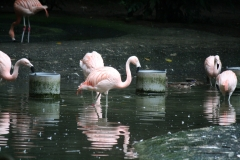 Dierenpark-Amersfoort-347-Chileense-flamingos