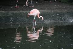 Dierenpark-Amersfoort-349-Chileense-flamingo