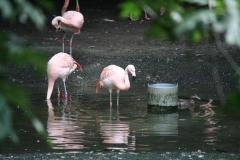 Dierenpark-Amersfoort-352-Chileense-flamingos