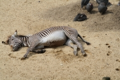 Dierenpark-Amersfoort-353-Zebra-in-de-zon-en-Helmparelhoenders