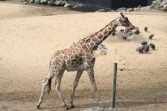 Dierenpark-Amersfoort-354-Giraffe-en-Helmparelhoenders