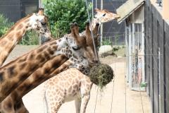 Dierenpark-Amersfoort-355-Giraffes